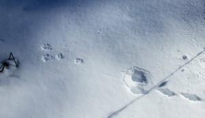 Feldhasenspur im Schnee